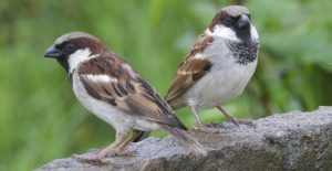 two male house sparrow